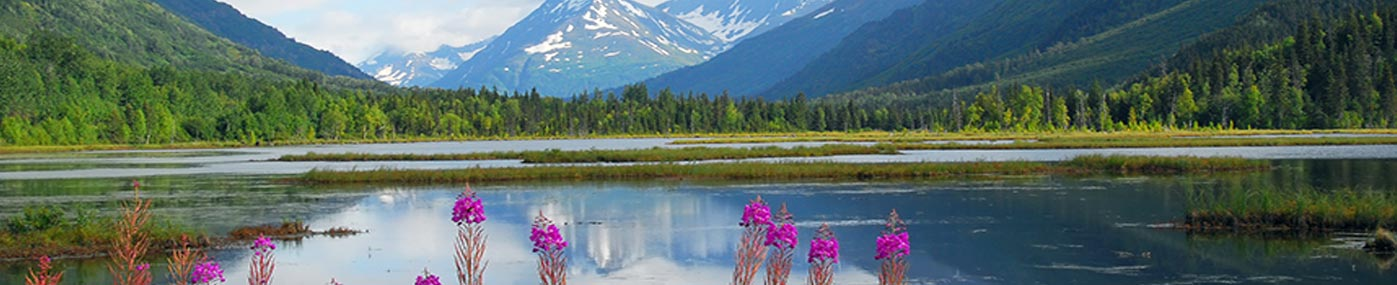 Beautiful fireweed around a lake in the summer