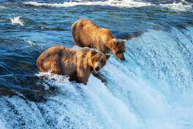 Bears fishing in a river