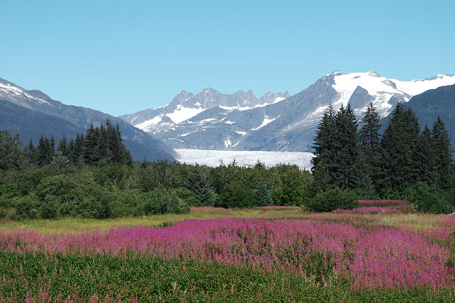 View of glacier with fireweed in front in summer
