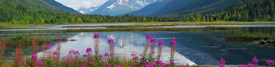 Fireweed along a beautiful Alaskan lake