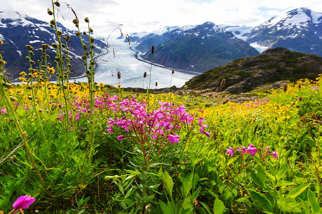 Alaska Glacier and Fireweed